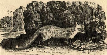 Thomas Bewick Cur Fox, wood-engraving, c.1790 (reprinted from the original block, 1922)